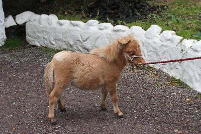 Miniature Horse - Ireland