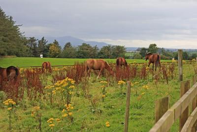 Horses In pasture - Ireland