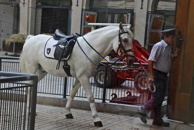Stallion - Spanish Riding School - Austria