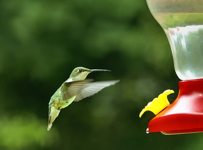 female Ruby-throated Hummingbird (Archilochus colubris)