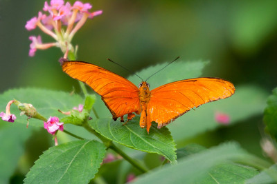 Julia Heliconian Butterfly on Leaf – Dryas iulia in a Butterfly House
