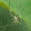 Black & yellow garden spider in its web.