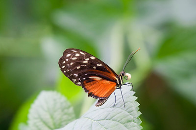 Golden Helicon on Leaf – Heliconius Hecale in a Butterfly House
