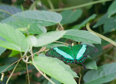 Emerald Swallowtail or Emerald Peacock Butterfly on Leaf – Papilio palinurus in a Butterfly House