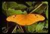 Julia (Dryas iulia), male, northern Everglades