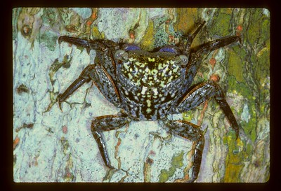 Mangrove Tree Crab, Aratus personii, Indian River Lagoon, Florida, USA, July 1988