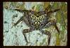Mangrove Tree Crab, Aratus personii, Indian River Lagoon, Florida, USA, July 1988