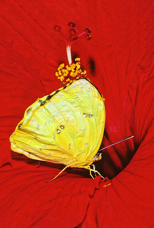 Here is an Orange Sulfur butterfly inside a Red Hibiscus in Florida.
