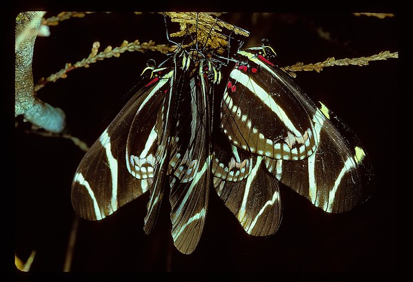 The communally roosting Zebra Longwing (Heliconius charithonia) butterfly ranges from South America, through Central America to peninsula Florida and west to southern Texas. <br /> <br /> On a chilly February night in which the temperature approached freezing, I found a group of them tenaciously huddled to a sprig of cedar or Arbor vitae. They survived three successive nights before the typically raw south Florida cold front broke.