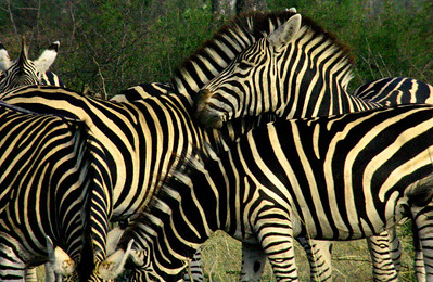 Zebra Gang in South Africa