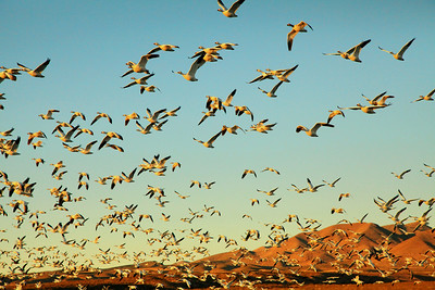 Snow Geese Blastoff in New Mexico