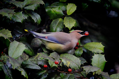 Cedar Waxwing in Georgia
