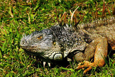 Iguana in Florida