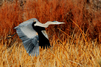 Great Blue Heron in New Mexico
