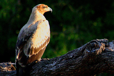 Tawny Eagle in Botswana