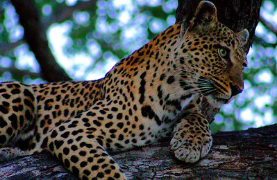 Leopard Resting in South Africa
