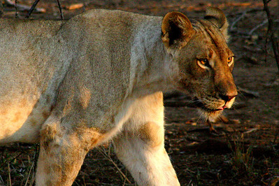 Female Lion in Botswana
