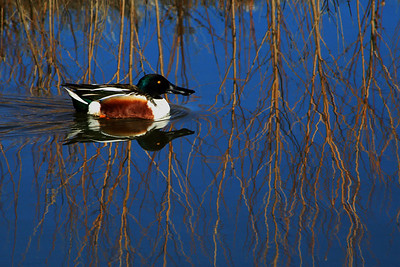 Northern Shoveler in New Mexico