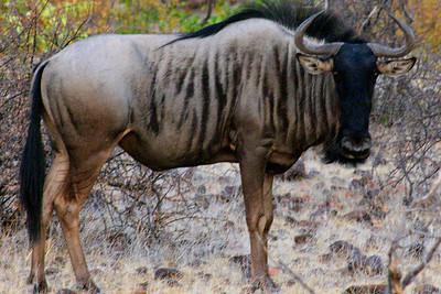 Wildebeast in Botswana