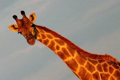 Giraffe in Botswana