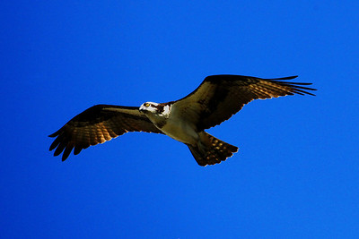 Osprey in Central Florida