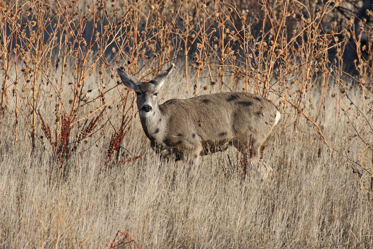 Mule Deer - Bosque del Apache NWR, NM