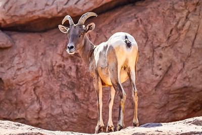 Big Horned Sheep, Arizona
