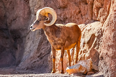 Big Horned Sheep, Arizona