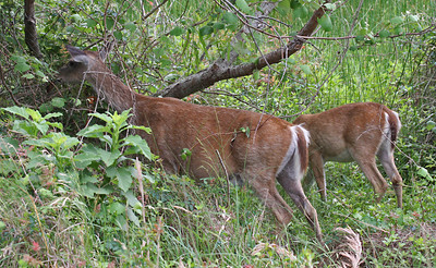 White-tail Deer, Aransas NWR, Texas