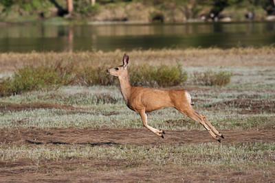 Mule Deer - Utah