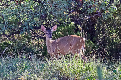 White-tailed Deer, Arizona