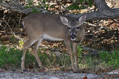 Key Deer, Florida Keys