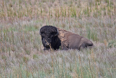 American Bison - Great Salt Lake, Utah