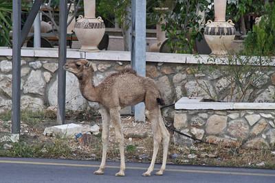 Camel on Street Jericho, Israel