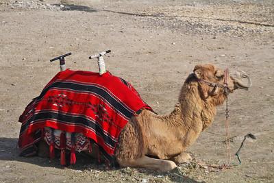Camel - Israel