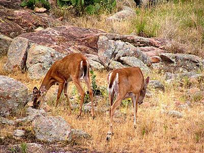 White-tailed Deer - Texas
