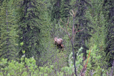 Moose with Calf, Danali Highway, Alaska