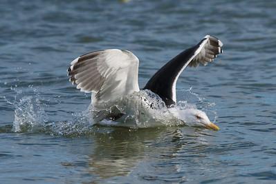 Gull species
