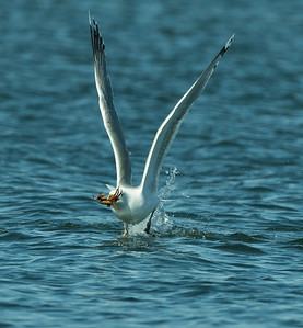 On a Gulf of Maine estuary a Herring Gull takes off with its crab. An abundance of crabs are carried into the estuary on an incoming tide. The current is strong enough to mix the crabs throughout the entire water horizon and carry then across sand bars. Gulls need only continually circle above the current to eventually spot a crab near the surface. Gulls cannot dive, so they must instantly drop to the water to catch their crab before it is carried into deep water again.