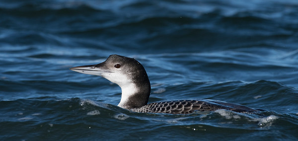 wintering Common Loons