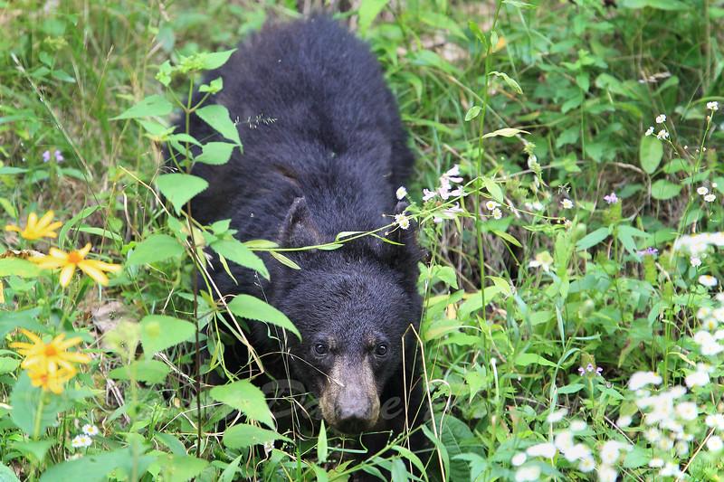 Black Bear Cub, Shenandoah National Park, Va.