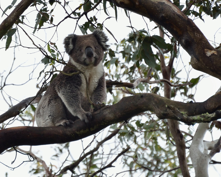Once he had found a spot that was to his liking, the koala settled back to watch the silly human way down below.<br /> Mt Napier State Park, November 2013