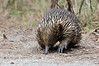 Those must have been incredibly tasty ants, because this Echidna sure wasn't taking any notice of the photographer...<br /> Braeside Park, April 2012