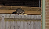 Okay... that's not a cat walking along the fence in our back yard...<br /> Common Brushtail Possum, May 2012