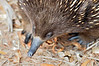 Echidna, uncropped.  Any closer, and it would have had to sit on my feet.<br /> Braeside Park, March 2013