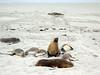 Australian Sea Lions, Seal Bay, Kangaroo Island