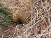 Echidna - the OTHER monotreme.