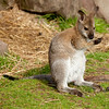 "Young Bennett Wallaby. <a href=""http://www.wereldtuinenmondoverde.nl/index.php?id=18"">Mondo Verde</a>, Landgraaf, Netherlands."
