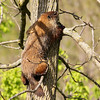 Ground Hog...or is it a Tree Hog???<br /> I would not of believed they could climb trees if I didn't see it for myself.