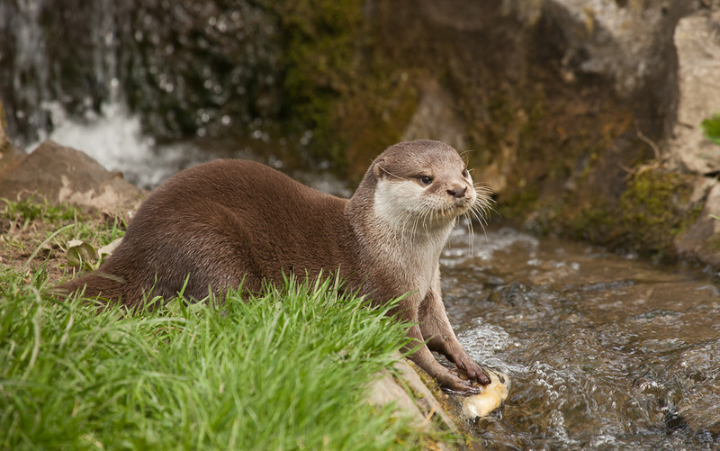 European otter (lutra lutra) washing food.
